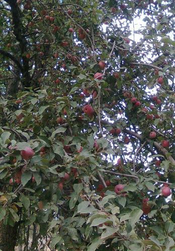 سیب قرمز باغات پیله رود